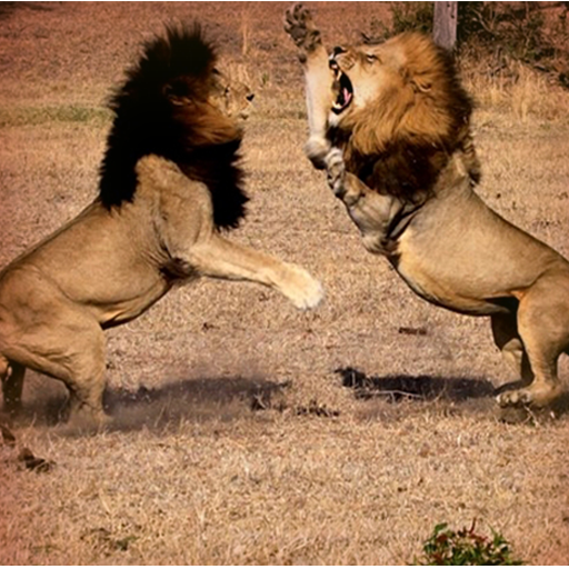 Amazon Com Pk African Lion Fight Simulator Appstore For