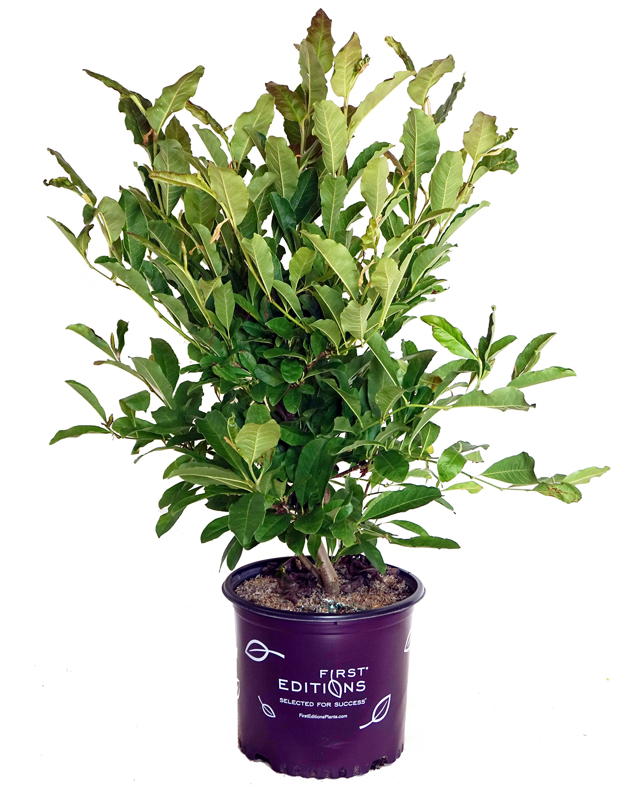 Green Promise Farms First Editions - Magnolia stellata Centennial Blush (Magnolia) Tree, light pink flowers, 3 - Size Container