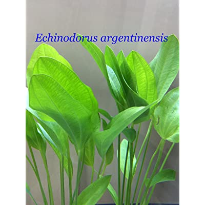 Exotic Live Aquatic Plant for Fresh Water Echinodorus argentinensis Bundle B045 By Jayco ** Buy 2 GET 1 FREE : Garden & Outdoor