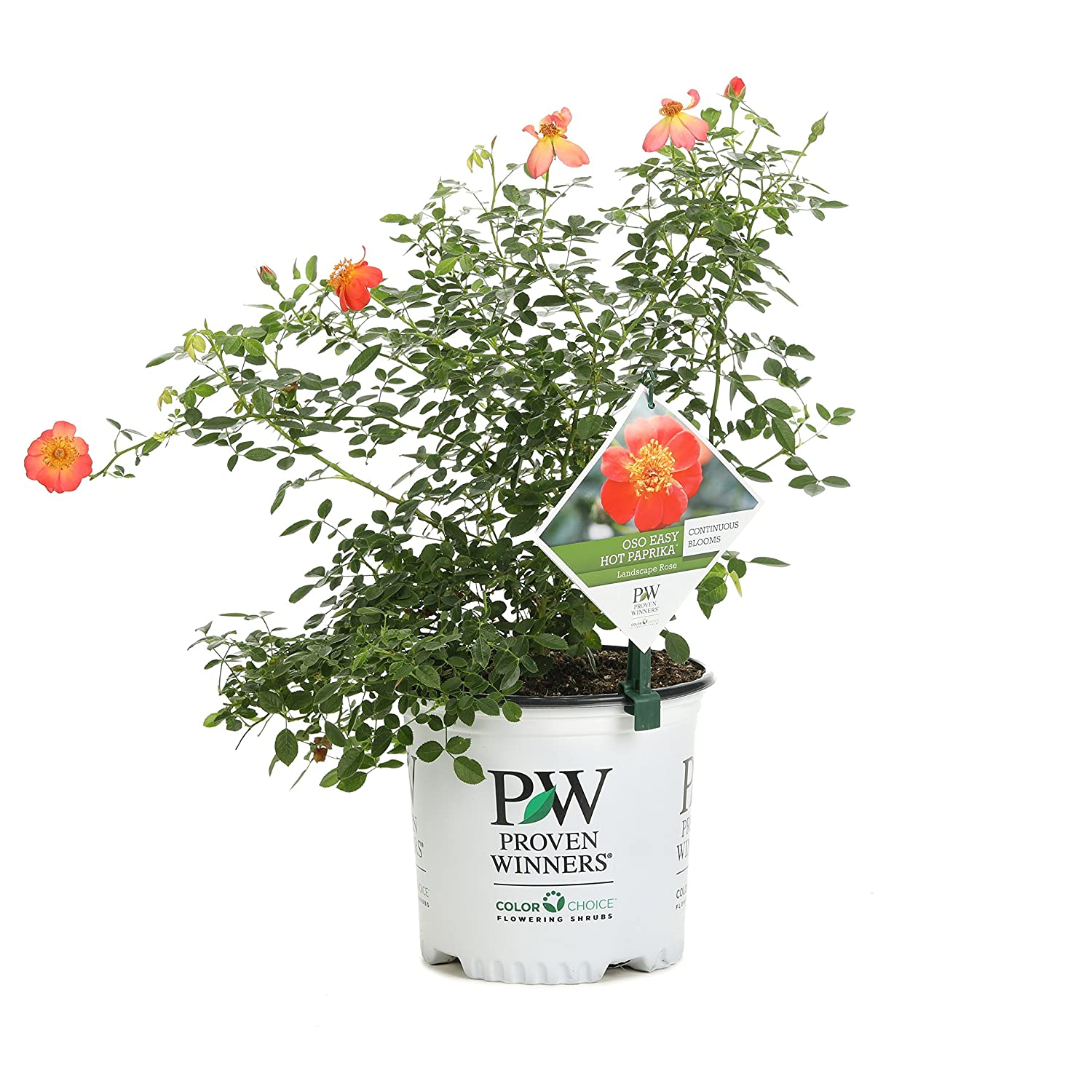 Amazon.com : Oso Easy Hot Paprika Landscape Rose (Rosa) Live Shrub ...