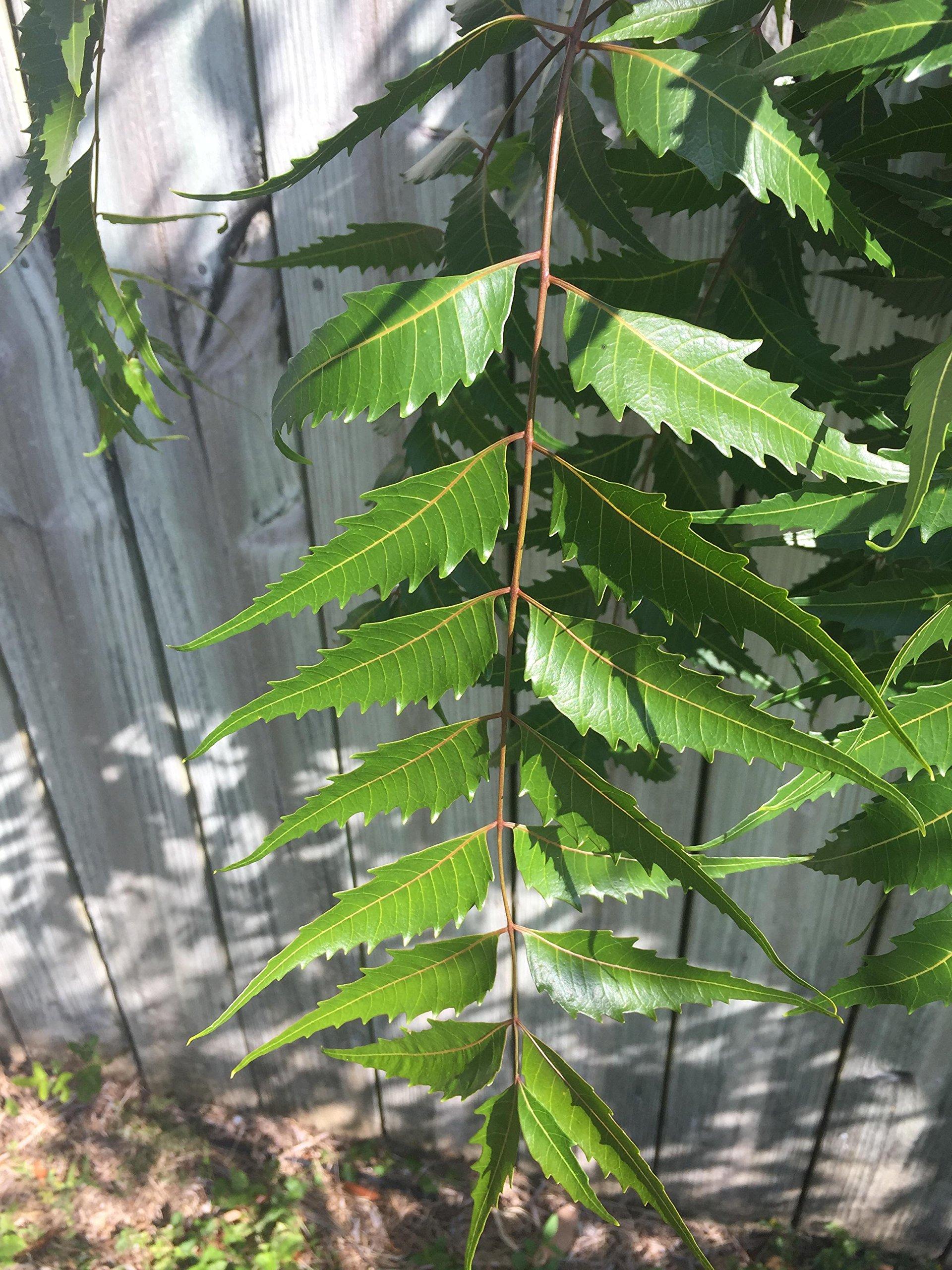 Fresh Neem Leaves (Margosa or Azadirachta Indica)