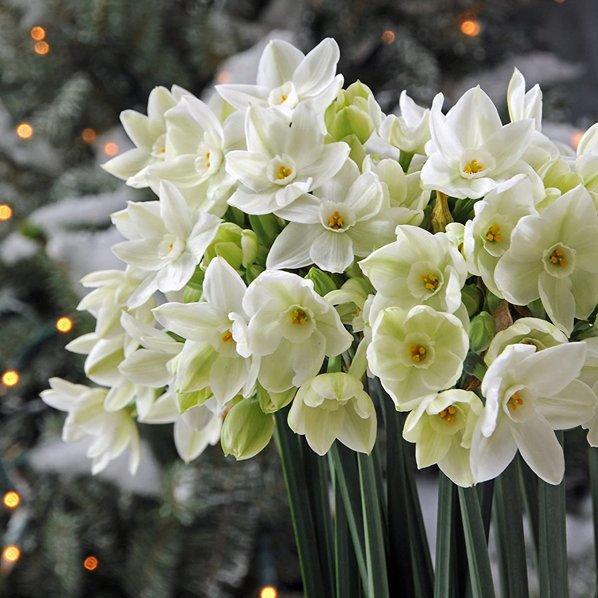 20 Paperwhite Bulbs Ariel, Size Extra Large Paperwhites for ForcingGrown in Israel! - Best Quality - Indoor Blooming & Fragrant!