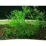6 Water Sprite (Ceratopteris Thalictroides) Live Aquarium Stem Plant by G&Z