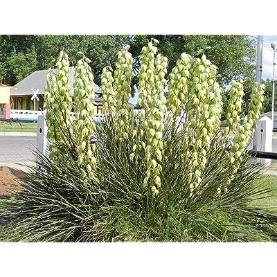 Banana Yucca - 20 Seeds - Drought Tolerant, Edible Fruits, Yucca Baccata ! : Garden & Outdoor