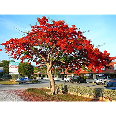 Royal Poinciana Flame Tree 15 Seeds - Delonix -Tropical: Toys & Games