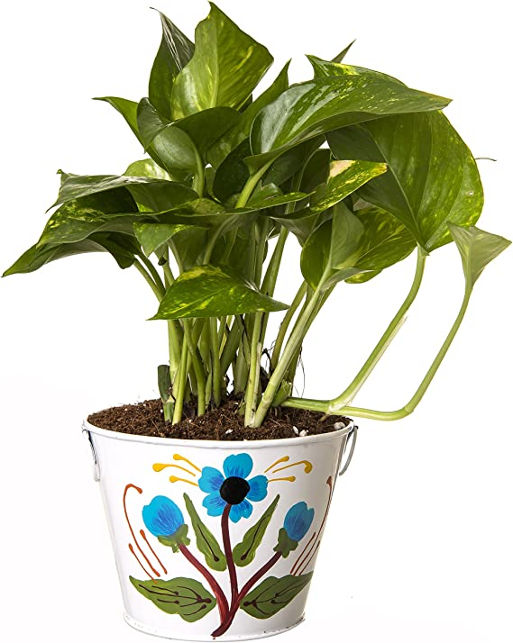 Exotic Green Indoor Hybrid Money Plant in Metal Pot Outdoor Plants at amazon