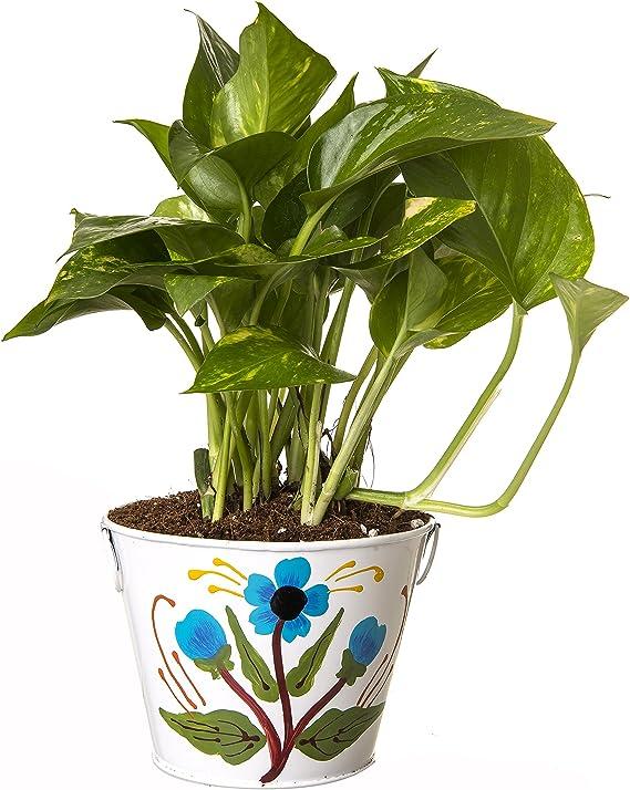 Exotic Green Indoor Hybrid Money Plant in Metal Pot Outdoor Plants at amazon