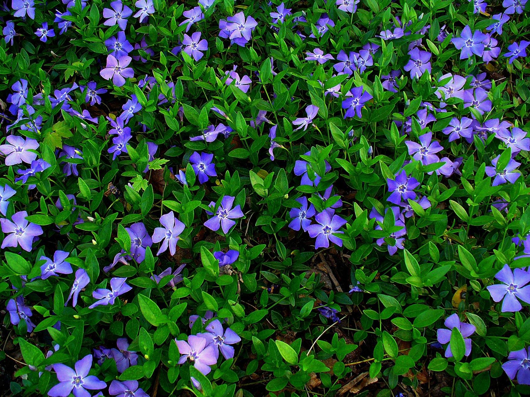 Evergreen 100 Plants Creeping Myrtle Vinca Minor Plants Ground Cover, Zone 4-9 by socaldavid24 (Image #1)
