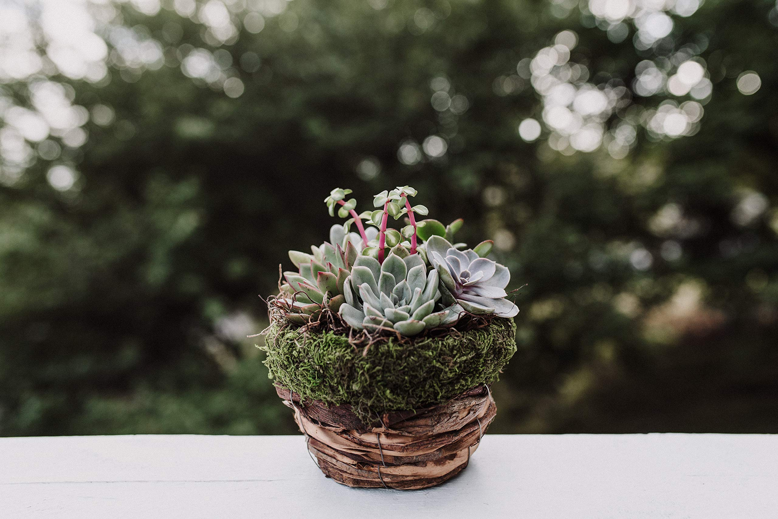 Hallmark Flowers Succulent Garden In 10-Inch Moss and Twig Container by Hallmark Flowers (Image #3)