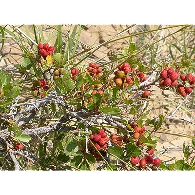 1 Ounce Seed Rhus trilobata Skunkbrush : Garden & Outdoor