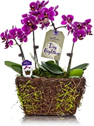 Hallmark Flowers Petite Purple Duo Orchid in 4-Inch Twig and Moss Container