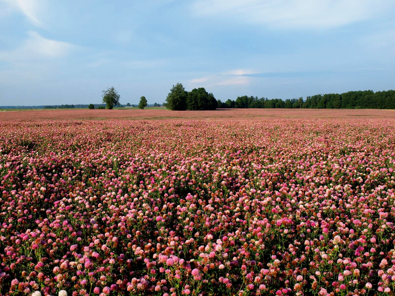 Red Clover Seed by Eretz - Willamette Valley, Oregon Grown (10lbs) by Eretz (Image #4)