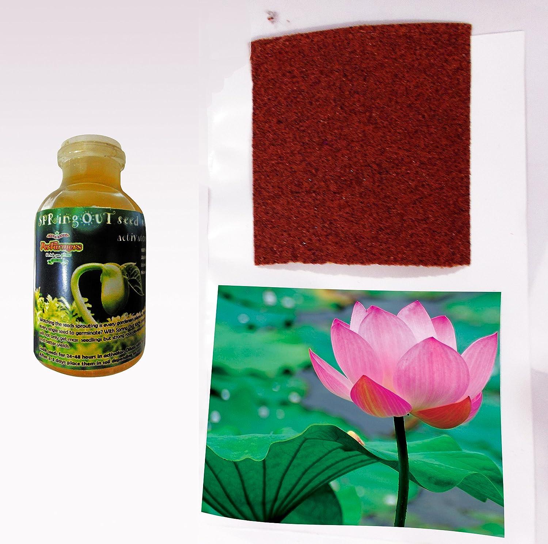 Perfarmers 20 pcs lotus flower seeds with organic seed starter perfarmers 20 pcs lotus flower seeds with organic seed starter amazon garden outdoors izmirmasajfo