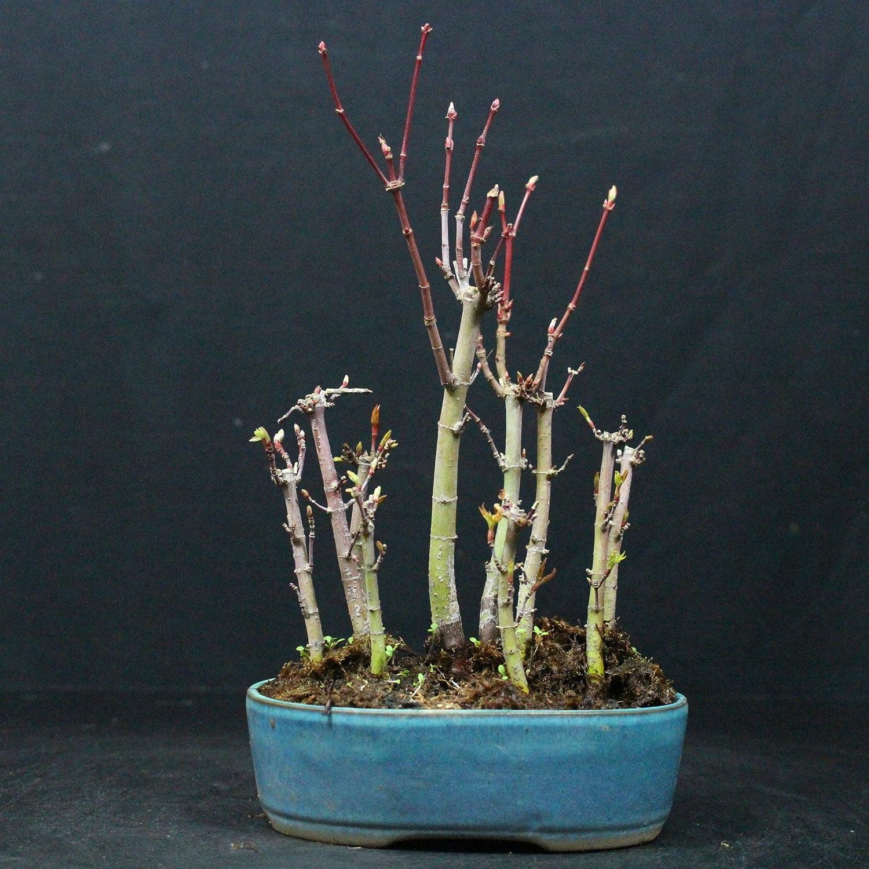 Forest Japanese Maple Acer Palmatum Yamamomiji Outdoor Bonsai 10
