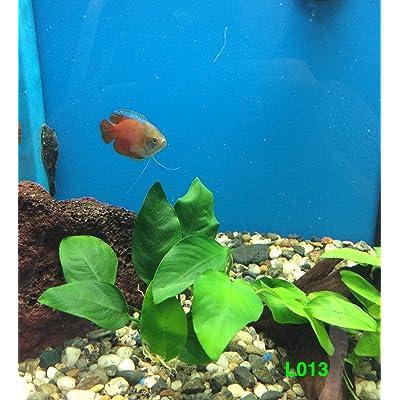 Anubias barteri 'broad leaf' Loose Plant L013 - Live Aquatic plant - Buy 2 Get 1 FREE : Garden & Outdoor