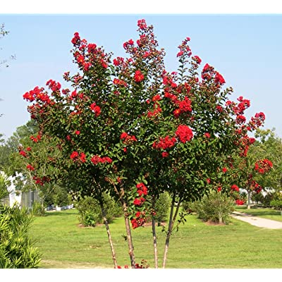"New Life Nursery & Garden- - Red Rocket Crape Myrtle Tree"", Trade Gallon Pot: Garden & Outdoor"