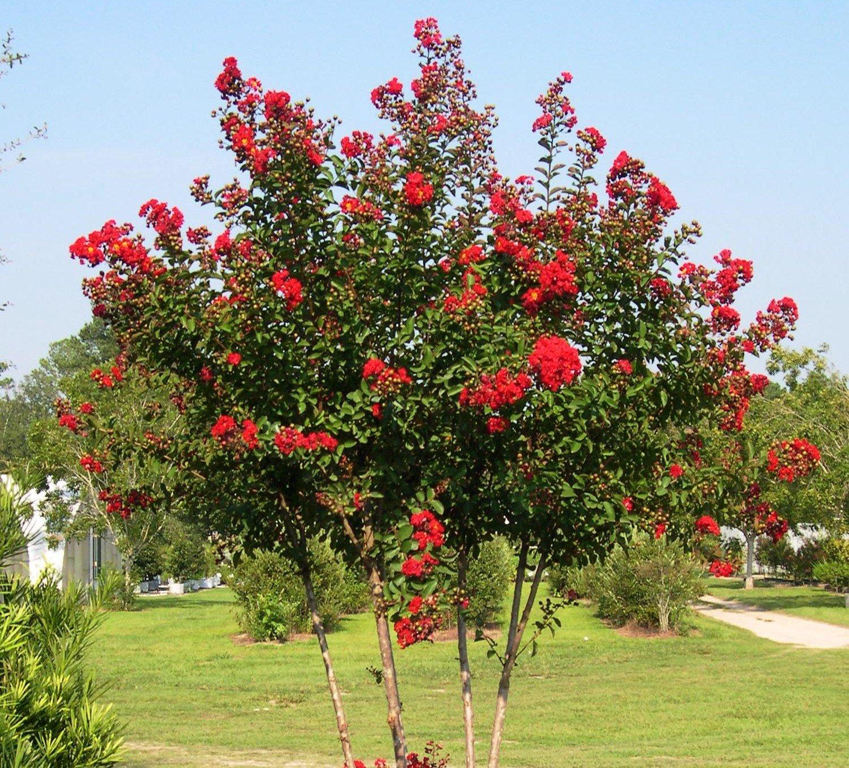 Red Rocket Crape Myrtle Tree - Live Plant - 4 Inch Pot