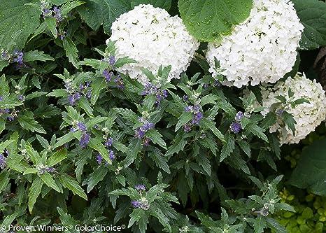 Amazon.com : Beyond Midnight Bluebeard (Caryopteris) Live Shrub, Blue Flowers and Glossy Green Foliage, 1 Gallon : Garden & Outdoor