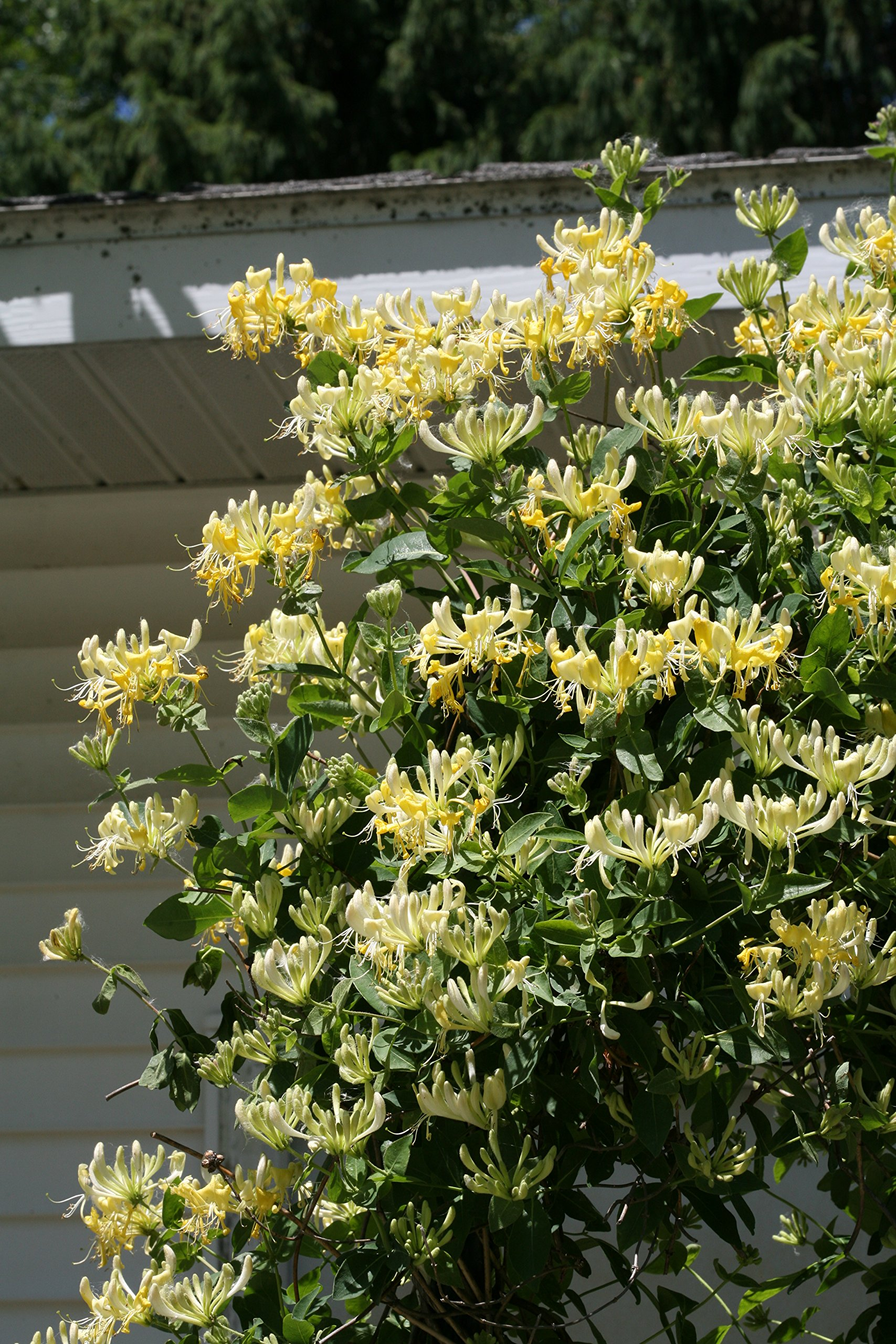 Scentsation Honeysuckle (Lonicera) Live Shrub, Yellow Flowers and Red Berries, 1 Gallon by Proven Winners (Image #7)