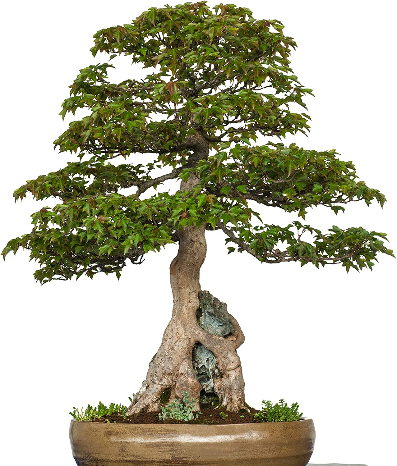 Acer Buergerianum 30 Trident Maple Bonsai Seeds Growing Guide Grow Your Own Bonsai Tree Perfect for Bonsai Beginners and Enthusiasts