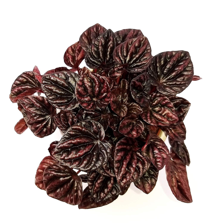 PEPEROMIA SCHUMI RED IN VASO CERAMICA pianta vera
