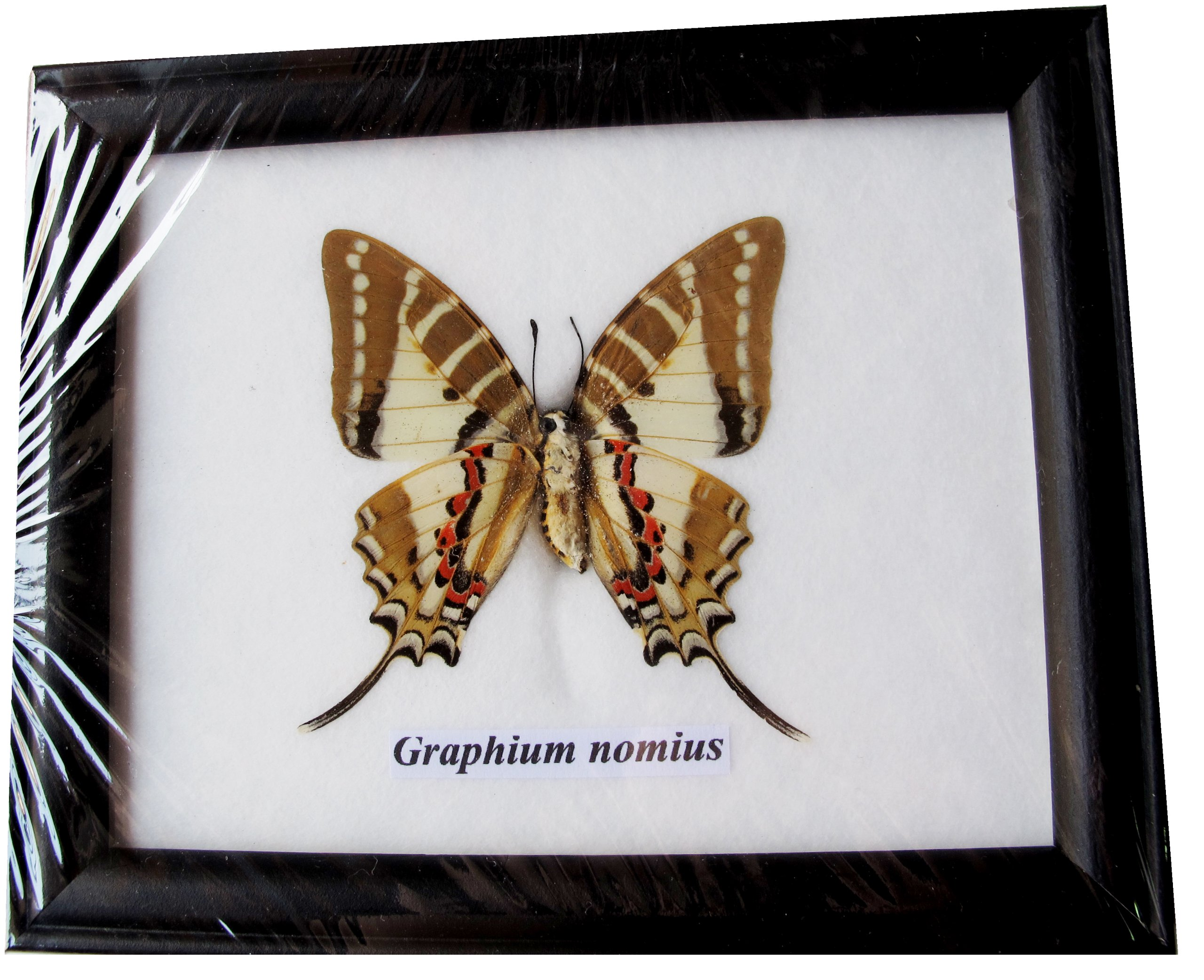 FRAMED REAL BEAUTIFUL GRAPHIUM NONIUS (FONT) BUTTERFLY DISPLAY INSECT TAXIDERMY 5''X5''X1''