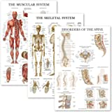 3 Pack: Muscular System + Skeletal System + Disorders of the Spine Anatomy Poster Set - Set of 2 Anatomical Charts…