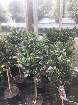 Christmas Holly Tree.Pair Of Holly Tree Standards 90cm Tall Christmas Decorative Perfect For Pots