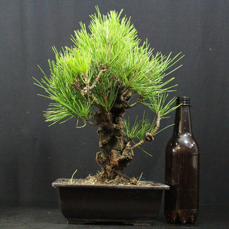 Pino japonés de Thunberg, Pinus thunbergii corticosa, bonsái para exterior, 19 años, altura 25 cm: Amazon.es: Jardín