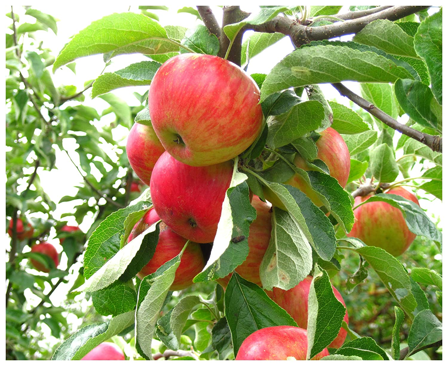Picture of Live Gala Apple Fruit Tree Fit 5 Gallon Pot - Fruit Ready!!!