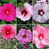 45+ Hardy Hibiscus Seed Mix - 6 Types of Seeds