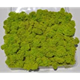 Reindeer Moss, Preserved - Spring Green (Chartreuse), 20-Ounce (1.25 Pounds) in a Designer Series Clear Case. (Reico Art 108055 - Soft and Colored Reindeer Moss)