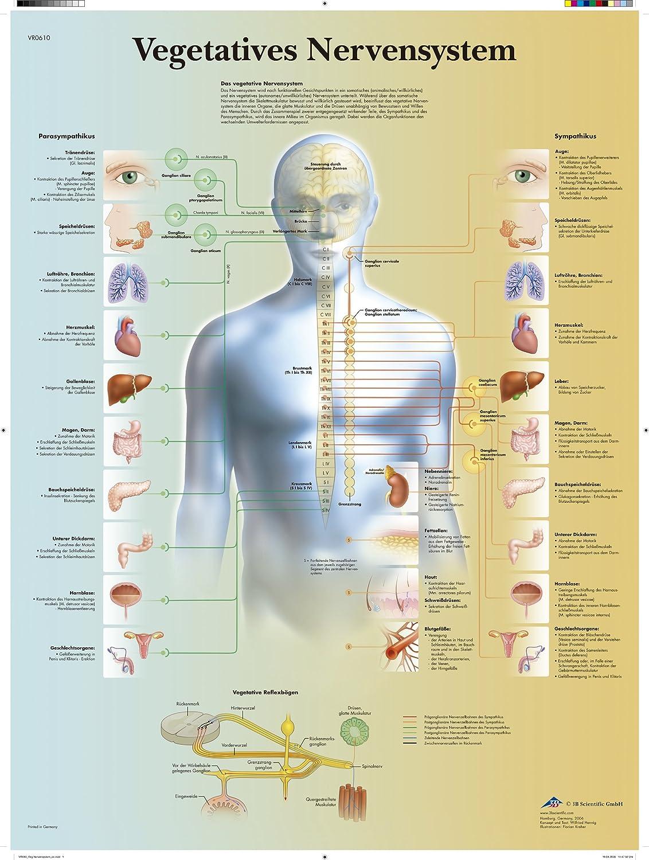 3B Scientific Lehrtafel laminiert - Vegetatives Nervensystem: Amazon ...