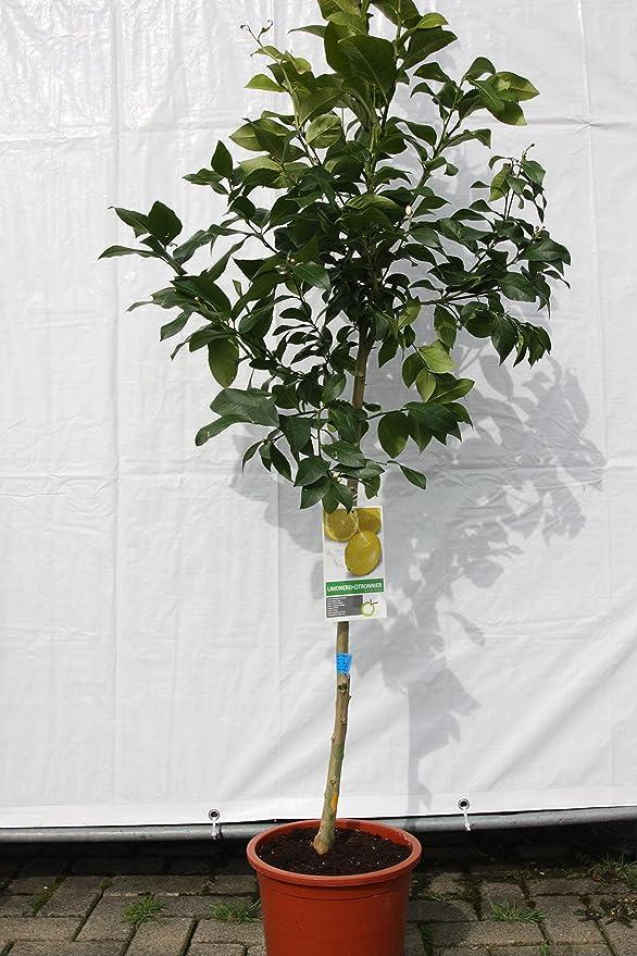 Citrus Limon, zitronenbaum, 170cm: Amazon.de: Garten