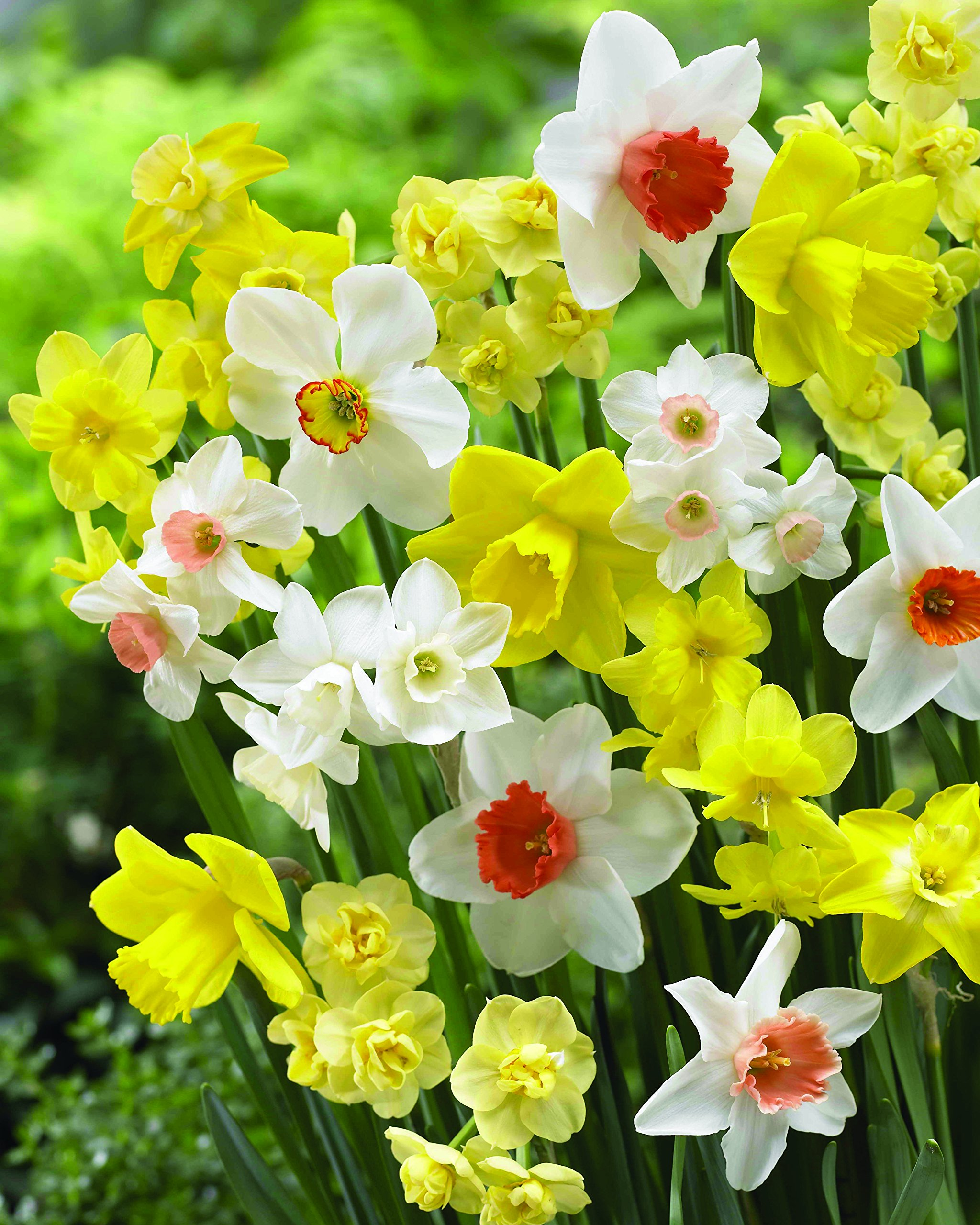 Burpee's Smiling Maestro Daffodil - 10 Flower Bulbs | Gold & Orange | 12 - 14cm Bulb Diameter