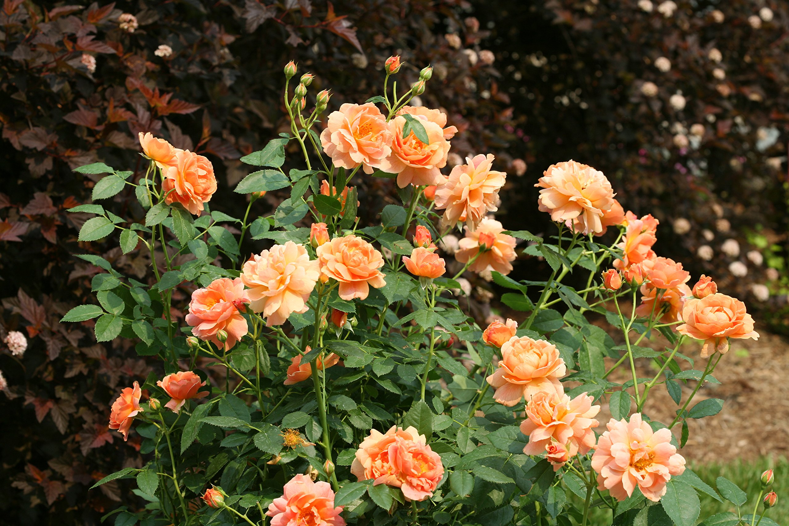 At Last Rose (Rosa) Live Shrub, Orange Flowers, 4.5 in. Quart by Proven Winners (Image #7)