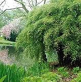 Dominik Blumen und Pflanzen, Garten- Schirmbambus, Fargesia murielae, 1 Pflanze  im 3 Liter Topf,  8 - 10 triebig,  horstbildend, plus 1 Paar Handschuhe gratis