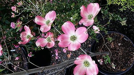 Amazon 1 gallon pink dogwood tree gorgeous pink flowers 1 gallon pink dogwood tree gorgeous pink flowers shipped semi bare mightylinksfo