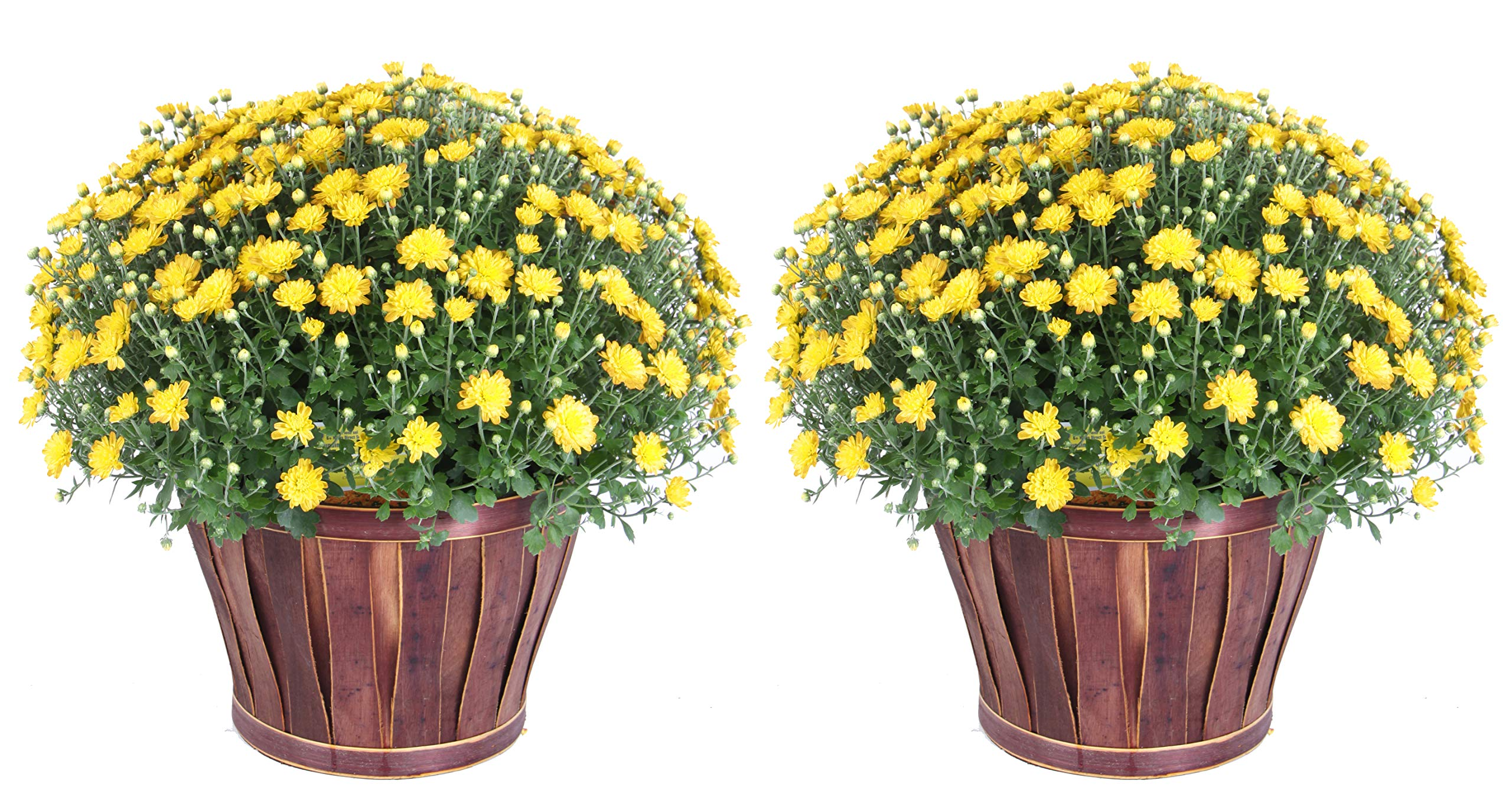 Costa Farms Chrysanthemum Flowering Mum Ships in Porch and Patio Ready Bushel Basket, 3-QT, Yellow by Costa Farms