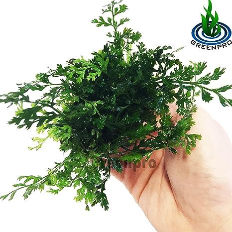 bolbitis difformis Baby Leaf Helecho Maceta Live Planta acuática para Acuario Tanque de peces de agua dulce por greenpro: Amazon.es: Jardín