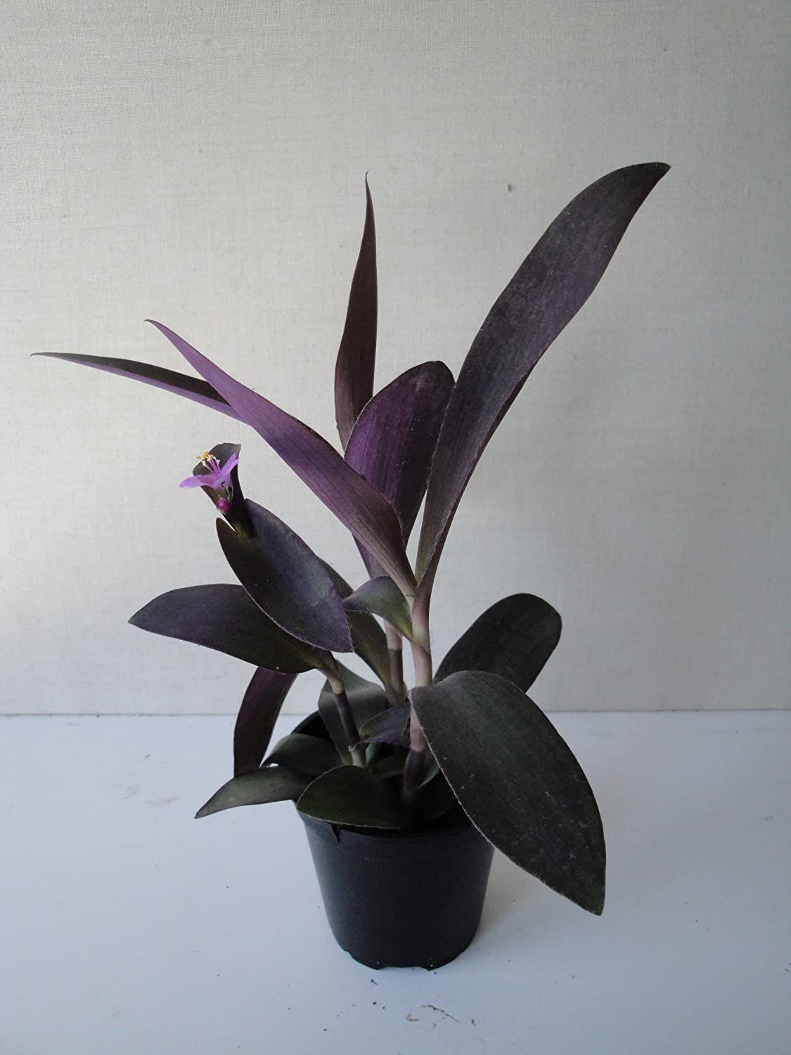 Purple Heart Plant - Setcreasea - Indoors or Out - Easy - 4