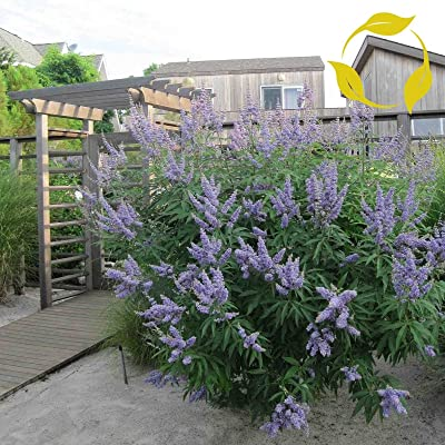 Lilac Chaste Tree Vitex Agnus castus 10 Seeds : Garden & Outdoor