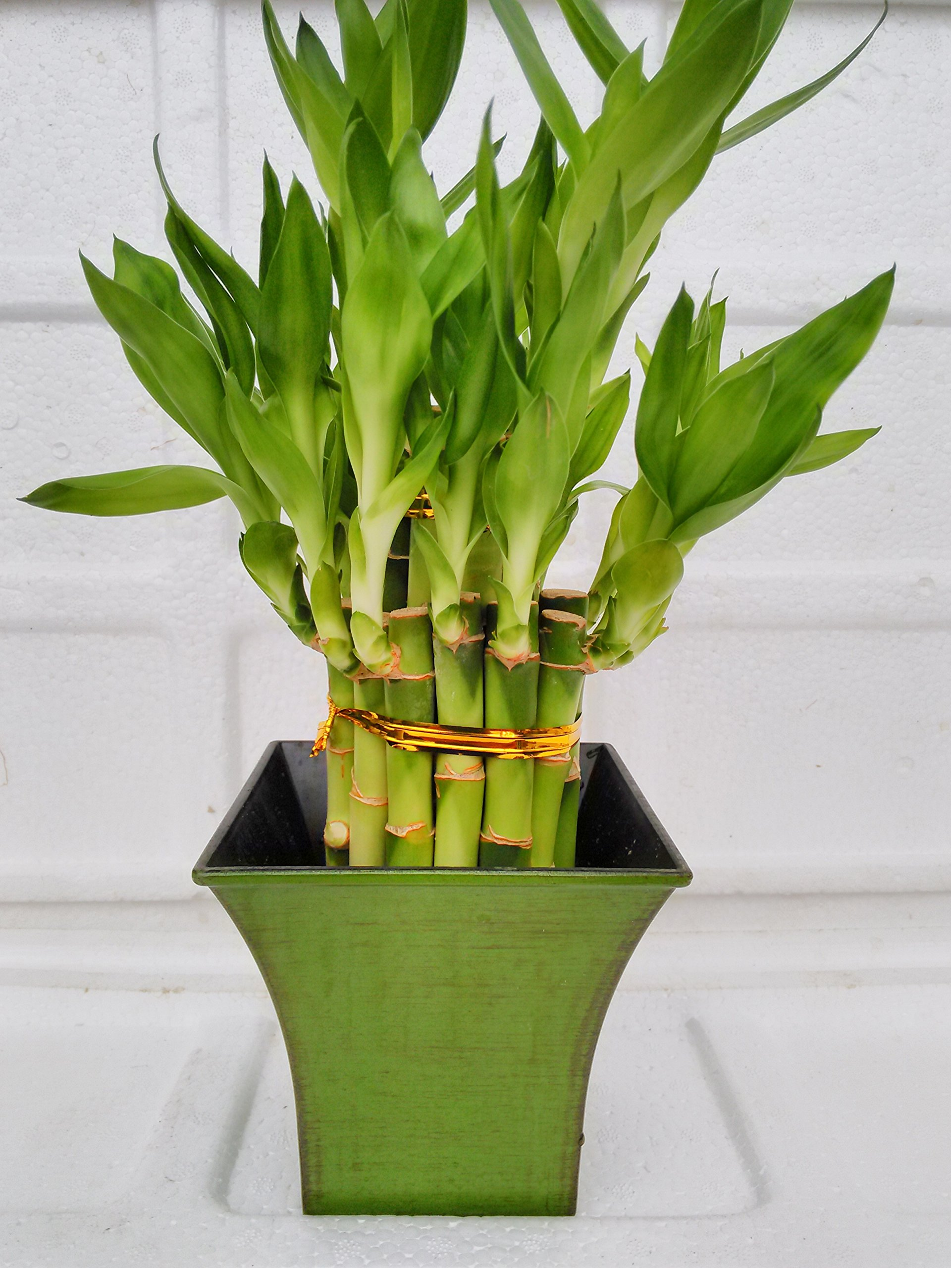 Jmbamboo - 2 Tier Lucky Bamboo - 6'' & 4'' Lucky Bamboos in 2 Tiers - Feng Shui - With 5'' Vase Color Moss Green