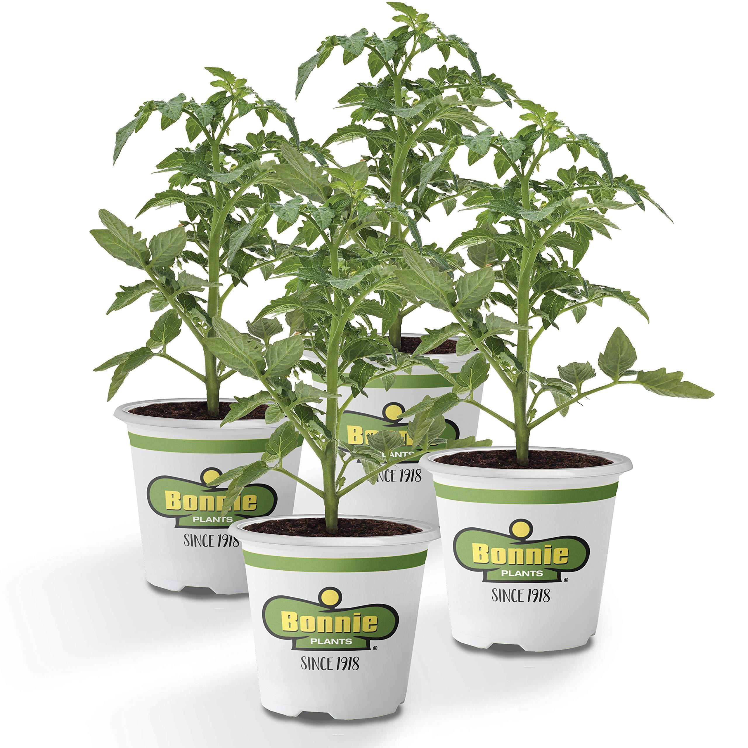 Bonnie Plants Cherokee Purple Heirloom Tomato (4 Pack) Live Plants by Bonnie Plants (Image #1)