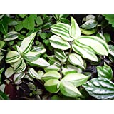Variegated Green & White Wandering Jew Starter Plant