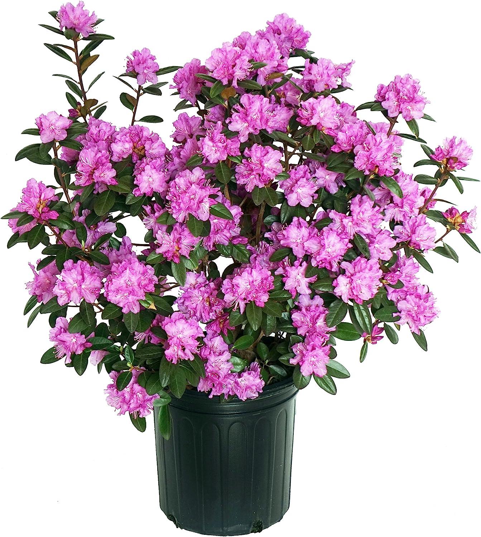Amazon Com Rhododendron X Pjm Elite Rhododendron Evergreen