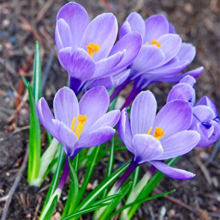 50 X Blue Crocus Bulbs Large Flowering Mixed Colour Available White Purple Striped Yellow Blue Spring Flowering Garden Bulbs Plant With Snowdrops Free Uk P P Amazon Co Uk Garden Outdoors