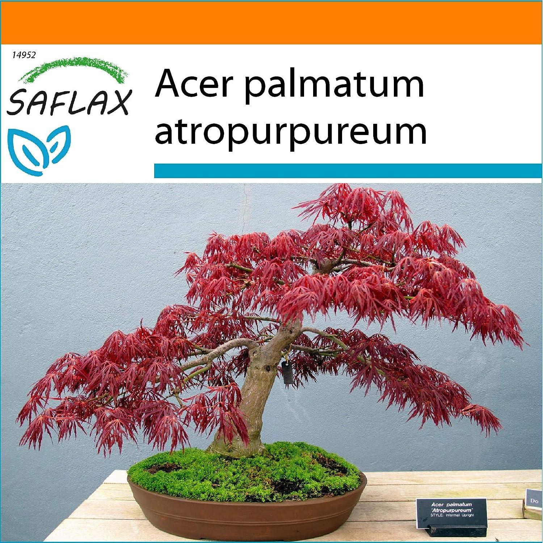 SAFLAX - Garden in the Bag - Arce japonés - 20 semillas - Con sustrato de cultivo en un sacchetto rigido fácil de manejar. - Acer palmatum