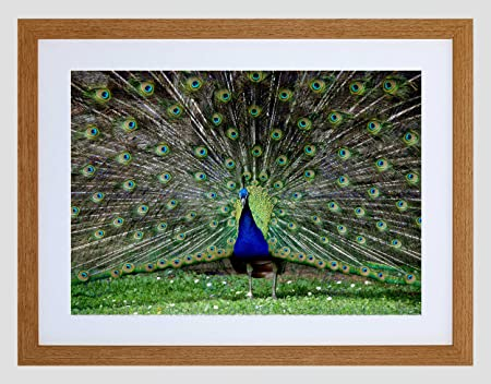 3e7775fb0b2 Image Unavailable. Image not available for. Colour  Wee Blue Coo Peacock  Birds Feather Art Framed Wall ...