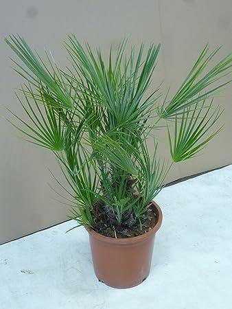 Chamaerops humilis Zwergpalme ca 50-60 cm Winterhart
